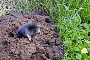 How to get rid of moles in the yard the housing forum for Garden moles