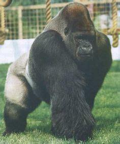 Gorilla Weight