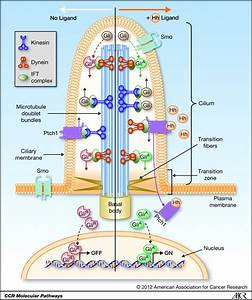 Molecular Pathways  The Role Of Primary Cilia In Cancer