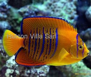 Clarion Angelfish products,Cameroon Clarion Angelfish supplier