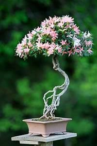 Bonsai Arten Für Anfänger : bonsai baum kaufen gartenpflanzen bonsai arten bonsai pinterest b ume kaufen bonsai baum ~ Sanjose-hotels-ca.com Haus und Dekorationen