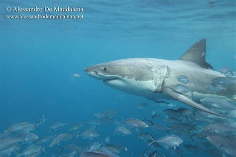 Program Of The Great White Shark Expedition In Australia