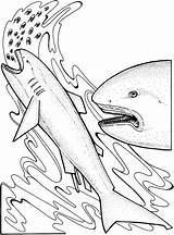 Shark Coloring Pages Basking Eating Kerra sketch template