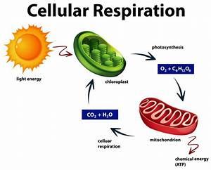 Diagram Showing Cellular Respiration Vector