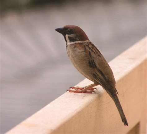 how to get rid of sparrows using humane bird