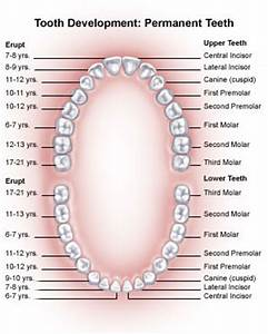 Tooth Anatomy - The Anatomy of a Tooth