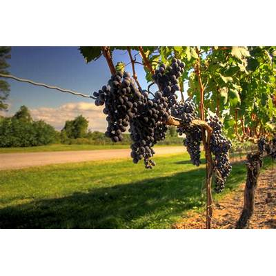 Viticulture goes head-to-head with Urban Agriculture – NYU