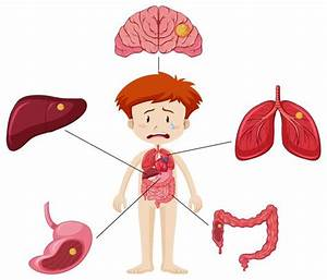 Boy And Diagram Showing Different Parts Of Organs With