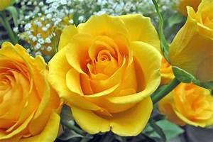 Single Yellow Rose HD Wallpaper | Flowers Wallpapers