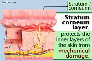 Structure And Function Of The Stratum Corneum Layer  A
