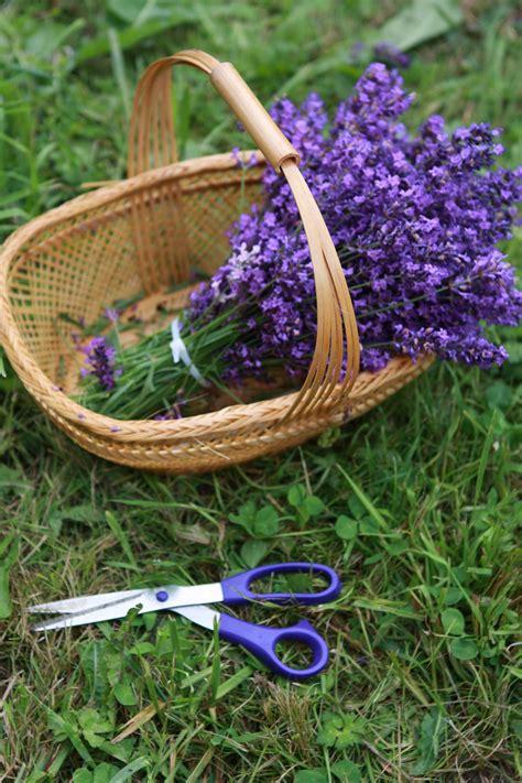 wann wird lavendel geschnitten wann lavendel schneiden