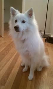 handsomedogs - Oliver, the Miniature American Eskimo!