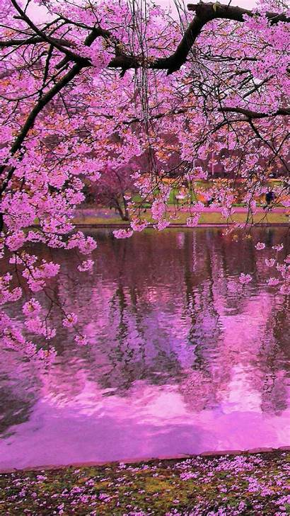 Blossom Cherry Sakura Iphone Wallpapers Blossoms Phone