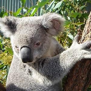 50 best images about Koalas & Cuddling on Pinterest ...