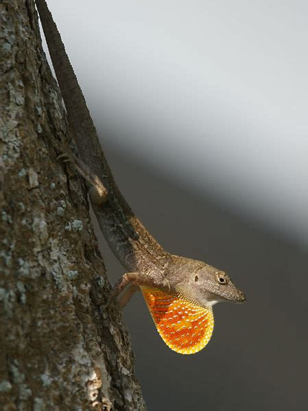 brown anole facts  pictures