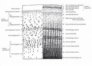 The Schematic Representation Of Basic Cytoarchitectonic