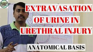 Anatomical Basis Of Extravasation Of Urine In Urethral