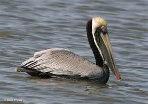 Louisiana State Bird Brown Pelican