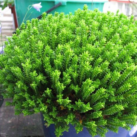 17 meilleures id 233 es 224 propos de arbustes 192 feuillage persistant sur arbustes arbres