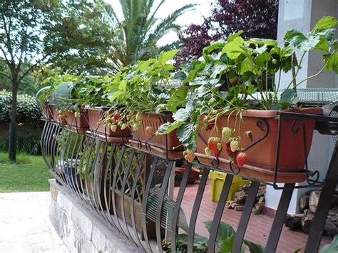 fragole in vaso sul balcone come coltivare le fragole sul balcone soluzioni di casa