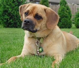 pug mix mix what with pug