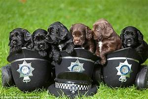 The adorable police spaniel pups which will soon be ...