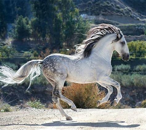 andalusian horse horses usage facts beach cheezburger galloping breeds breed amp towingguidetipsandtricks
