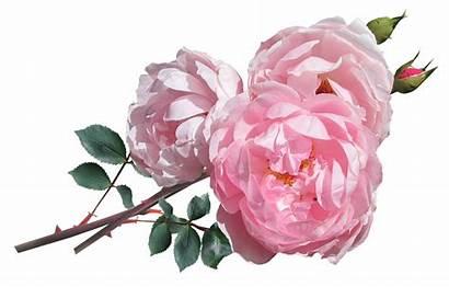 Austin Rose Pink Flowers David Roses Perfect