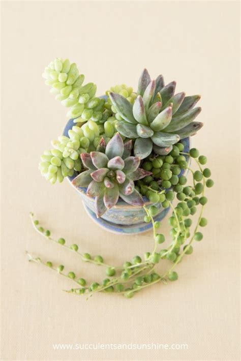 what to do with succulents tips for planting succulents in containers succulents and sunshine