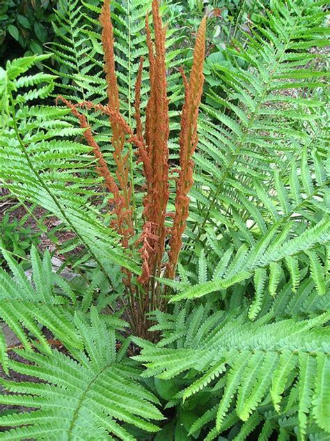 cinnamon fern cinnamon fern ferns pinterest