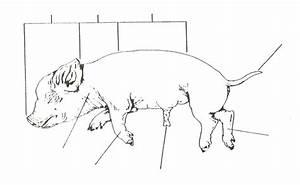 Albionapbiology    Fetal Pig Dissection Pre Lab