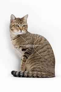 Animal Photography | Brown Mackerel Tabby Cat, sitting ...