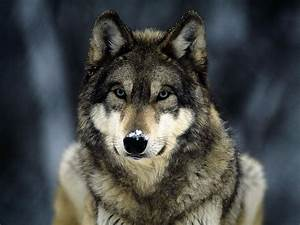 wallpapers: Wolf in Winter Wallpapers