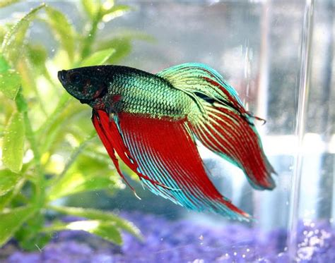 siamese fighting fish picture 1 of 8 siamese fighting fish betta splendens pictures images animals a z animals