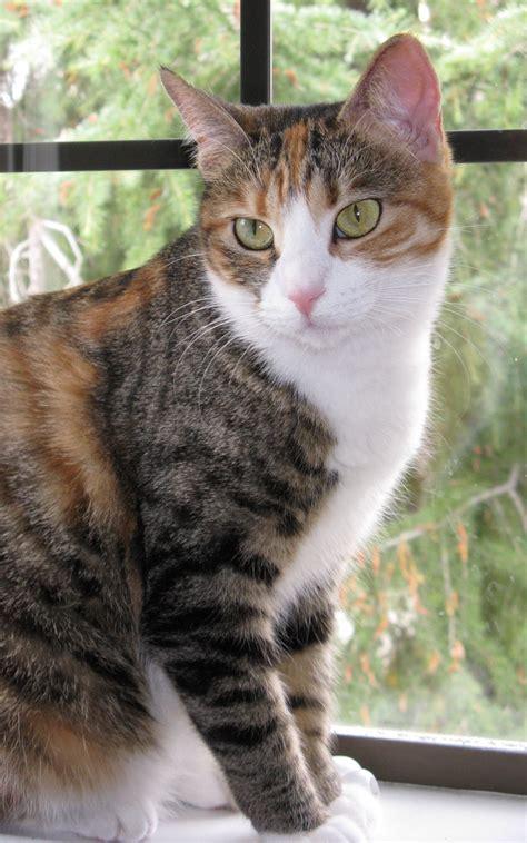calico cats   Mixed Breed (Calico & Tortoiseshell) Cat ...