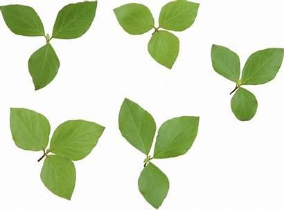 Leaves Leaf Transparent Purepng Pngimg