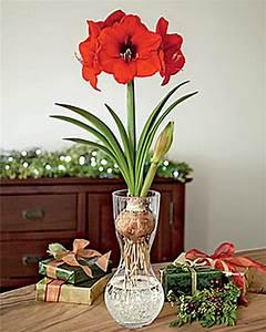 Amaryllis In Der Vase : amaryllis in a glass vase buy from gardener 39 s supply ~ Lizthompson.info Haus und Dekorationen