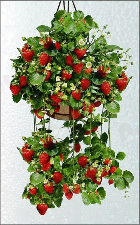 hanging strawberry planter hanging strawberries new style for 2016 2017