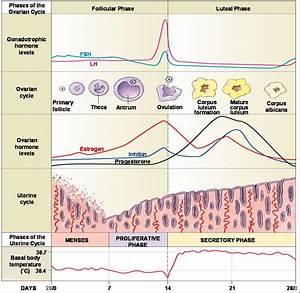 Phases Of Ovarian Cycle