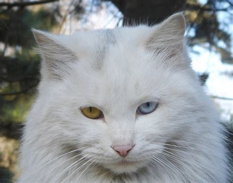 cats eyes cat different colored persian why eye breeds cute which many wild mane sphynx angora hepcatsmarketing flickr