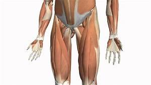 Diagram Of Thigh