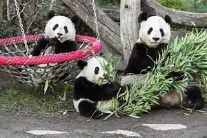 Großes Loch Im Garten Welches Tier : zwei panda awards f r tiergarten sch nbrunn wien ~ Lizthompson.info Haus und Dekorationen