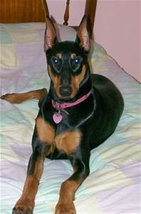Doberman Pinscher Dog Breed Pictures, 2