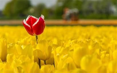 Flowers Yellow Field Tulips Plants Fiori Tulipani