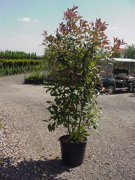 photinia robin 8 high including height of pot
