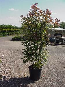 Photinia Red Robin : photinia red robin 8 feet high including height of pot ~ Michelbontemps.com Haus und Dekorationen