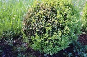 Spritzmittel Gegen Buchsbaumzünsler : der buchsbaumz nsler ist wieder da maschinenring blog ober sterreich ~ Watch28wear.com Haus und Dekorationen