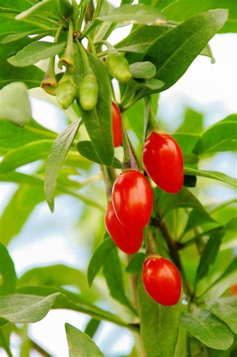 tree berries which berries grow on trees slideshow