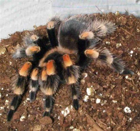 pet tarantula mexican redknee tarantula care sheet
