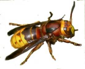 Yellow Hornet Insect